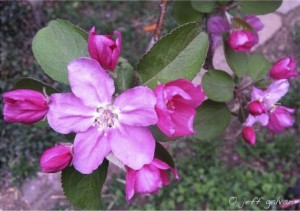 Crabapple-Malus-Flowering