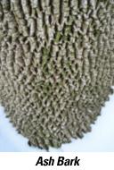 ash-tree-bark