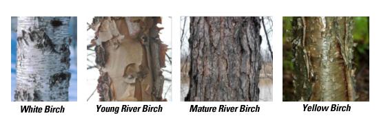 birch-species
