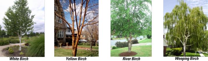 Birch Tree Care Milwaukee Birch Tree Care Minneapolis