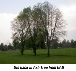 emerald ash borer treatment