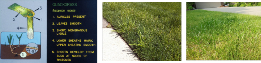 How to get rid of quickgrass and tall fiscue
