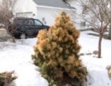 How to repair an Arborvitae