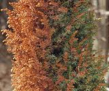 winter burn arborvitae