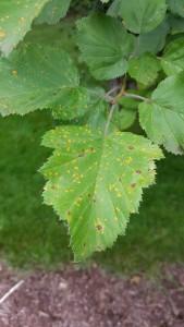Cedar Hawthorne Rust