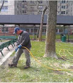 Technician fertilizing a Honey Locust