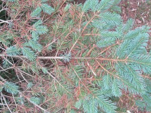 Rhizosphaera on blue spruce